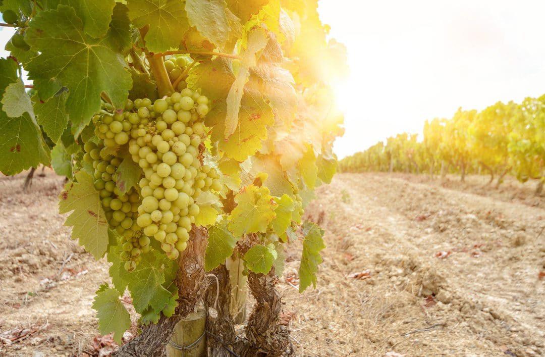 Proef de Moscatel wijn met alle zintuigen